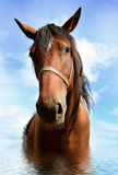 Horse in water stock image
