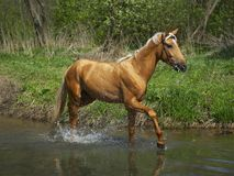 Horse in water. Horse standing on the background Royalty Free Stock Image