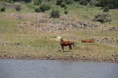 The Horse water Cow. By RonenG , took at evening with hard wind at the labanon sariya and israel border Stock Images