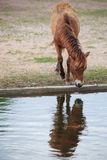Horse water Stock Photo