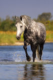 Horse in water Stock Images