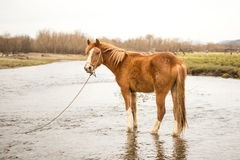 Horse drinking water. The horse watering place on the river royalty free stock photo