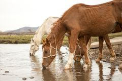Horse drinking water. The horse watering place on the river in the spring cloudy day stock photography