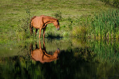 Horse at the watering place. Horse at the watering a small lake at the summer time stock image