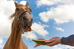 Horse and watermelon Stock Photography
