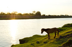 Horse at waterside. Horse nippling grasses at waterside royalty free stock photos