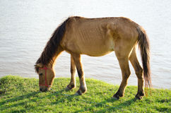 Horse at waterside. Horse nippling grasses at waterside Royalty Free Stock Images