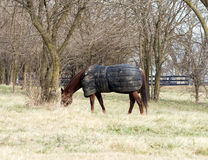 Horse Wearing Blanket. Quarter horse in the middle of the winter wearing a blanket to keep warm. Photographed in Northern Virginia Royalty Free Stock Photo