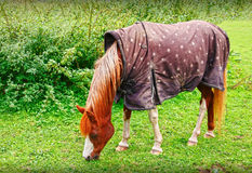 Horse wearing blanket Royalty Free Stock Image