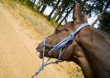 Horse wearing a blue halter of ropes Royalty Free Stock Image