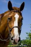 Horse wearing a bridle Stock Photo
