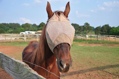 Horse Wearing Fly Mask Stock Photos