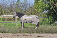 Horse wearing fly mask and body blanket Stock Photos