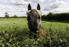 Masked horse talks over a hedge royalty free stock photo