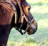 Horse wearing halter Royalty Free Stock Image