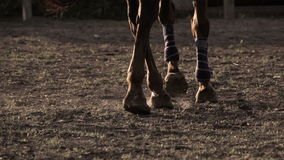 Horse wearing leg bandages stock video footage