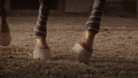Horse wearing leg bandages stock video