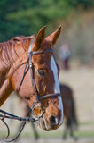 Horse wearing riding tack Royalty Free Stock Photos