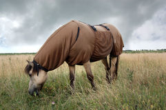 Horse wearing sweet itch blanket. An Icelandic horse wearing a sweet itch blanket. Sweet itch is an allergy; the rug helps to prevent the insect bites that cause Royalty Free Stock Images