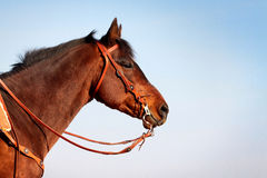 Horse in western equipment Royalty Free Stock Images