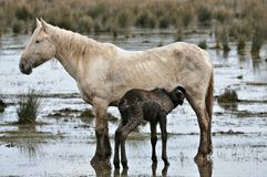 Horse of the wetlands Stock Image