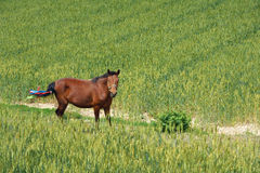 Horse and wheat field Royalty Free Stock Photos