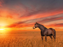 Horse Wheat Field Sunset. 3D painting of a beautiful horse standing in a wheat field at sunset Stock Photo