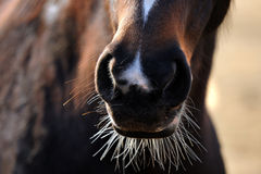Horse Whiskers. Close-up of horse whiskers and nose royalty free stock photo