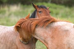 Horse whispering Stock Photography