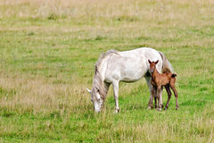 Horse white with bay foal Stock Photo