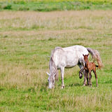 Horse white with bay foal on meadow Royalty Free Stock Images