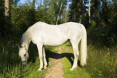 Horse white Royalty Free Stock Images