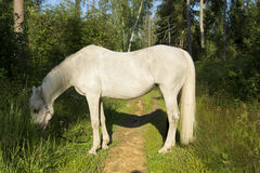 Horse white Royalty Free Stock Photos