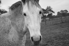 Horse, White, Black And White, Mane Stock Photos