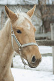 Horse with a white blaze on the head in the halter. Cream-colored horse with a white blaze on the head in the halter Royalty Free Stock Image