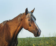 Horse with a white blaze on her head walks on the green field Royalty Free Stock Image