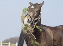 Horse with a white blaze on his head eating christmas three branche. Gray horse with a white blaze on his head eating christmas three branche Stock Photos