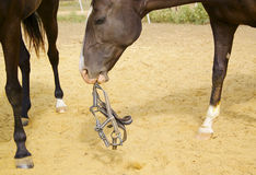 Horse with a white blaze on his head keeping the halter in his teeth halter. Dark brown horse with a white blaze on his head keeping the halter in his teeth Stock Image