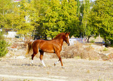 Horse with a white blaze on his head runs on a dry grass on a background of trees. Red horse with a white blaze on his head runs on a dry grass on a background Royalty Free Stock Photography