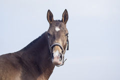 horse with a white blaze on his head standing against the gray sky Stock Photography