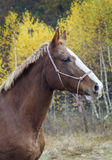 Horse with a white blaze on his head is standing on background of the autumn forest Royalty Free Stock Photography