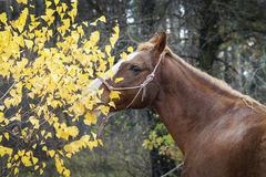 Horse with a white blaze on his head is standing on background of the autumn forest Stock Image
