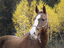 Horse with a white blaze on his head is standing on background of the autumn forest Stock Photography