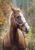 Horse with a white blaze on his head is standing on background of the autumn forest Royalty Free Stock Photos