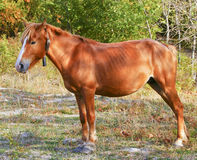 Horse with a white blaze on his head are standing on a grass on a background of trees Stock Image