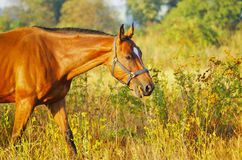 Horse with a white blaze on his head walking in the field Stock Photos
