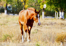 Horse with a white blaze on his head walks on a dry grass on a background of trees. Red horse with a white blaze on his head walks on a dry grass on a background Stock Photo