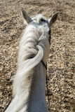Horse white close Royalty Free Stock Images