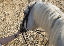 Horse white close Stock Images