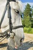 Horse white close Royalty Free Stock Image